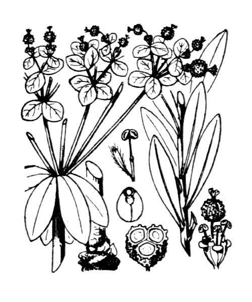 Euphorbia palustris L. - illustration de coste
