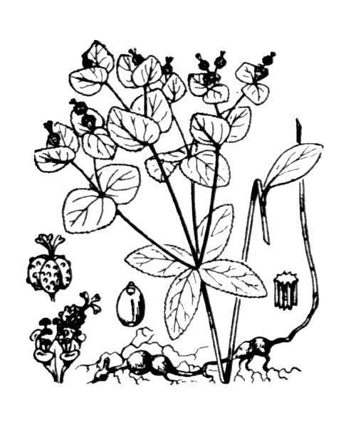 Euphorbia angulata Jacq. - illustration de coste