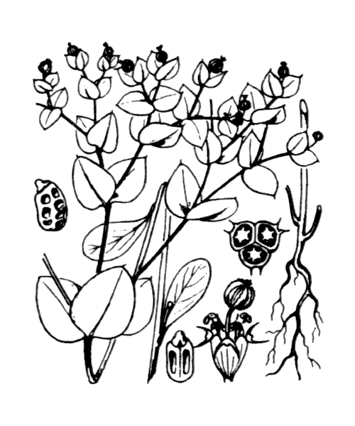 Euphorbia peplus L. - illustration de coste