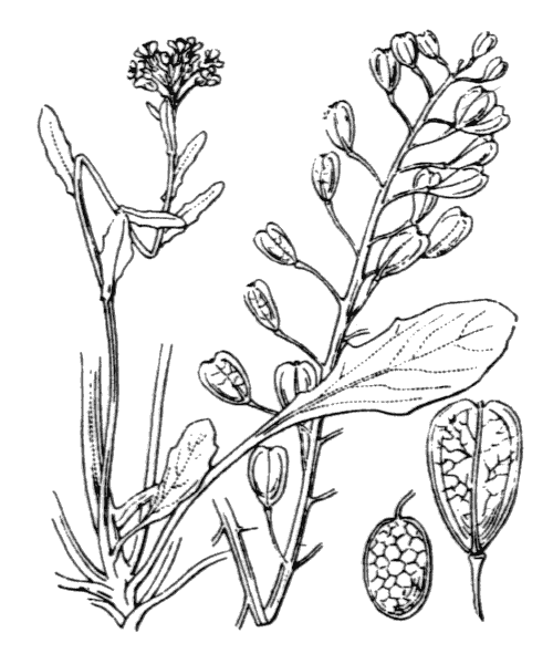 Thlaspi alliaceum L. - illustration de coste