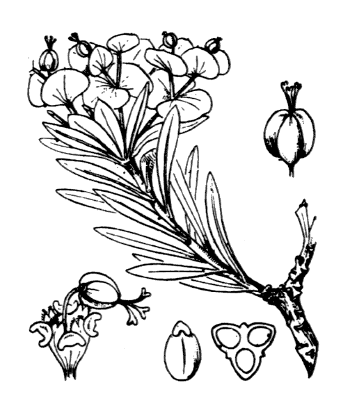 Euphorbia dendroides L. - illustration de coste