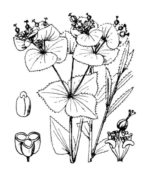Euphorbia serrata L. [1753] - illustration de coste