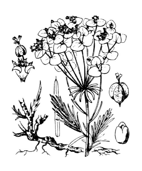 Euphorbia cyparissias L. - illustration de coste