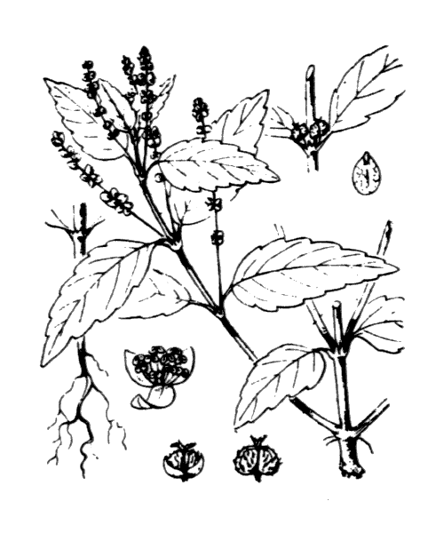 Mercurialis annua L. - illustration de coste