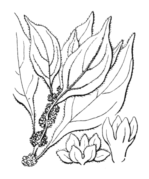 Parietaria officinalis L. - illustration de coste