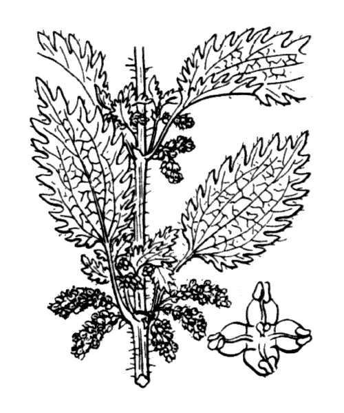 Urtica urens L. - illustration de coste