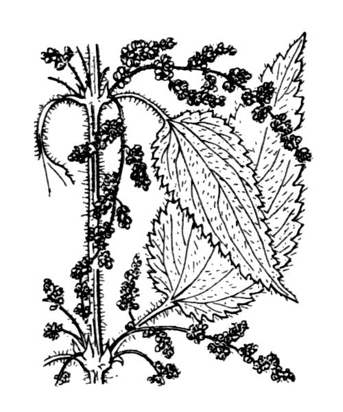 Urtica dioica L. - illustration de coste