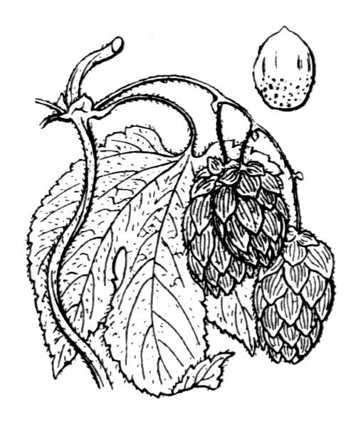 Humulus lupulus L. - illustration de coste