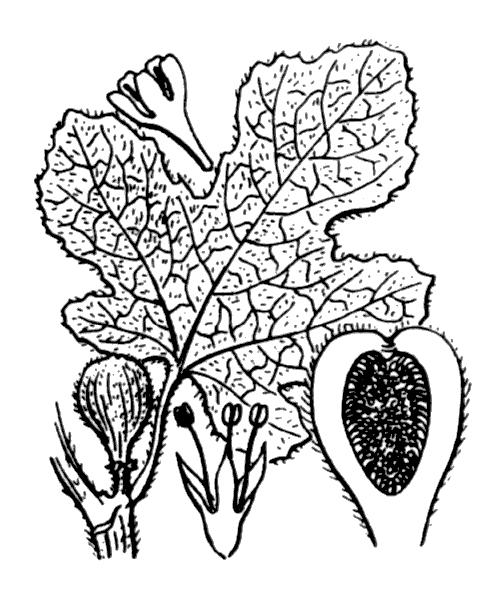 Ficus carica L. - illustration de coste