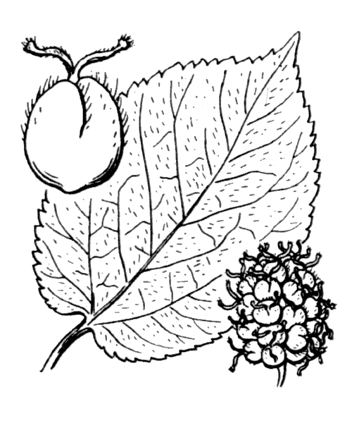 Morus nigra L. - illustration de coste