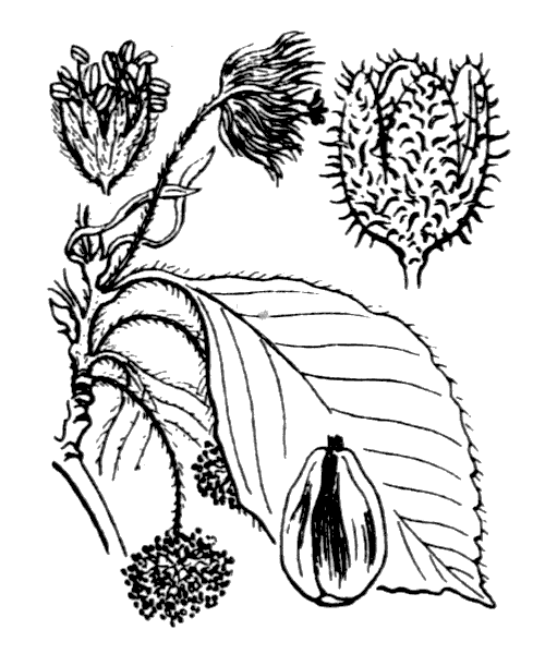 Fagus sylvatica L. [1753] - illustration de coste