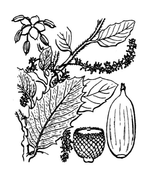 Quercus ilex L. - illustration de coste