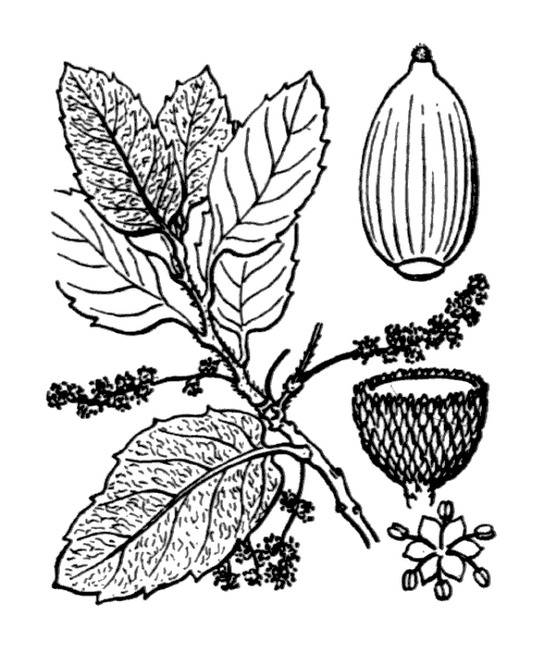 Quercus suber L. [1753] - illustration de coste