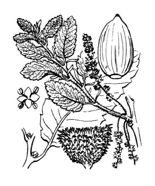 Quercus crenata Lam. [1785] - illustration de coste