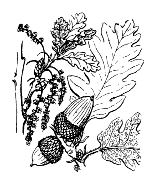 Quercus pubescens Willd. - illustration de coste