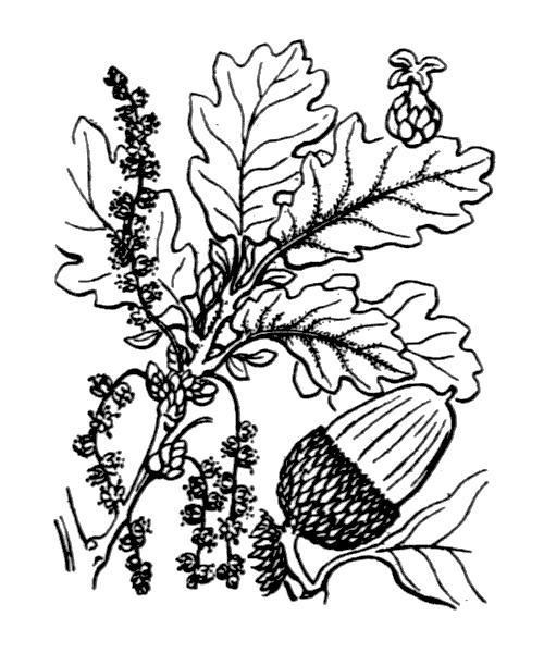 Quercus petraea (Matt.) Liebl. subsp. petraea - illustration de coste