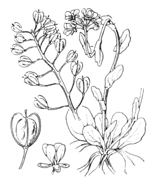 Noccaea montana (L.) F.K.Mey. subsp. montana - illustration de coste