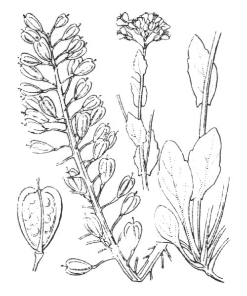 Noccaea caerulescens (J.Presl & C.Presl) F.K.Mey. subsp. caerulescens - illustration de coste