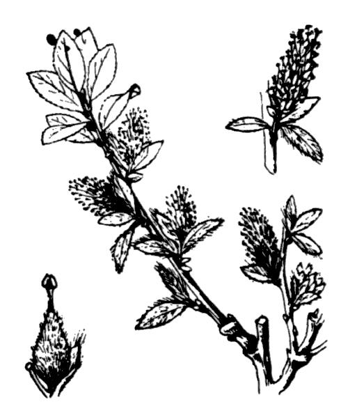 Salix foetida Schleich. ex DC. - illustration de coste