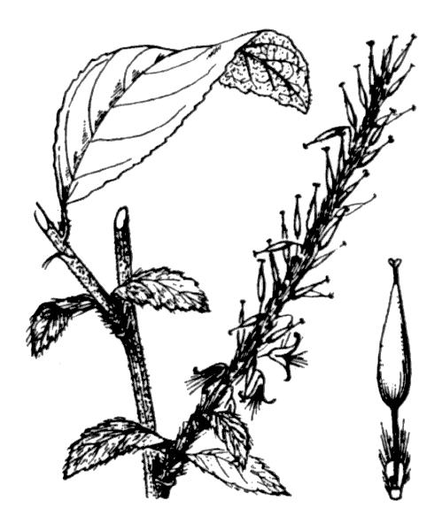 Salix pedicellata Desf. - illustration de coste