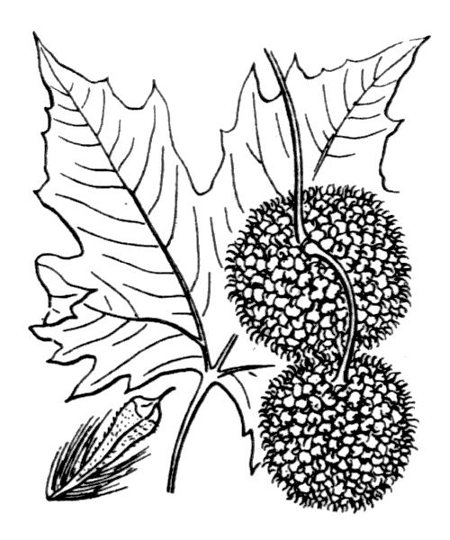 Platanus x hispanica Mill. ex Münchh. - illustration de coste