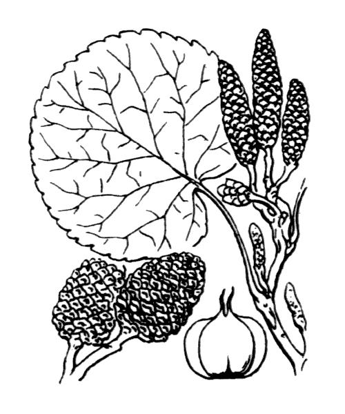 Alnus cordata (Loisel.) Duby - illustration de coste