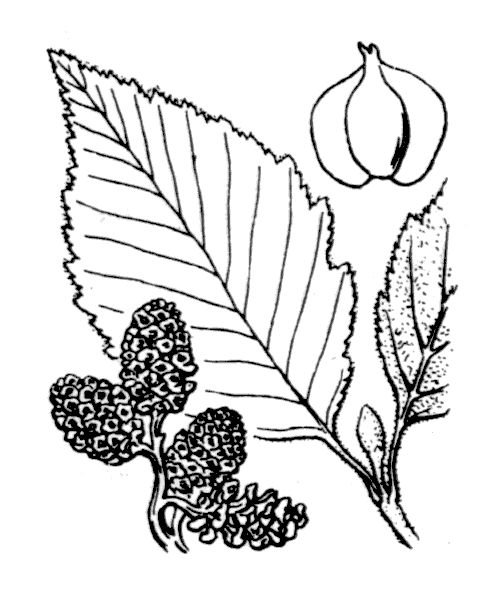 Alnus incana (L.) Moench - illustration de coste