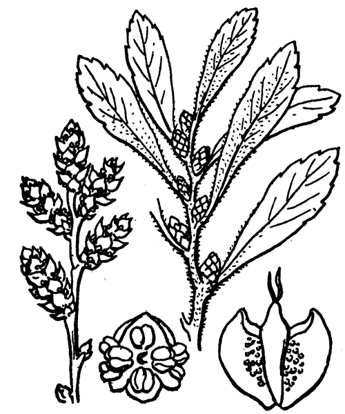 Myrica gale L. - illustration de coste
