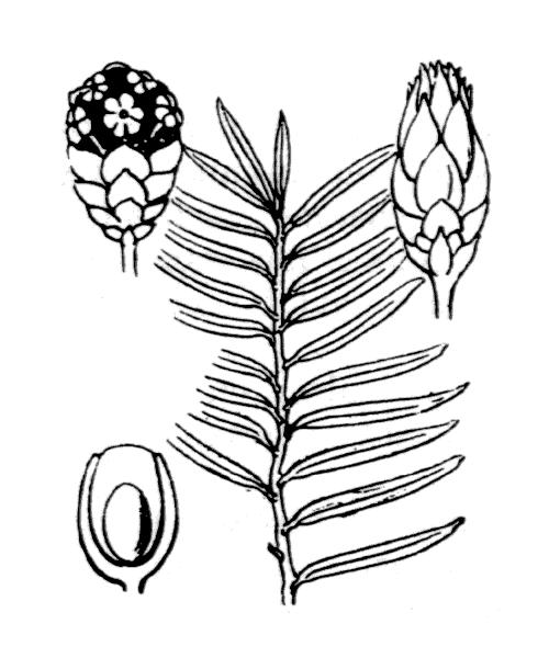 Taxus baccata L. - illustration de coste