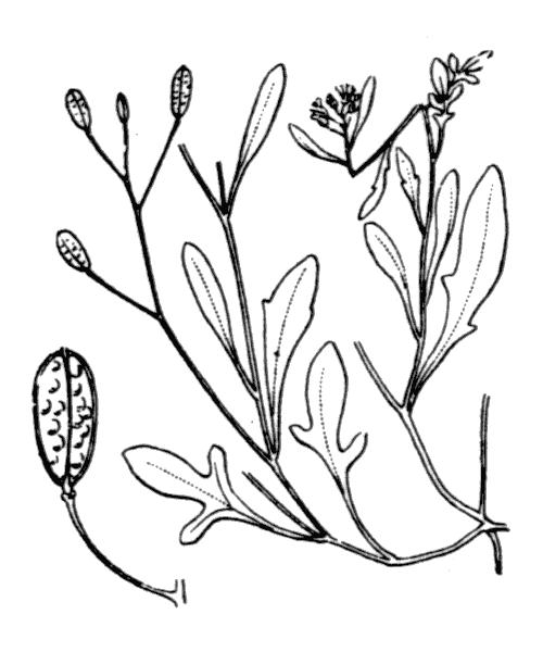 Hornungia procumbens (L.) Hayek var. procumbens - illustration de coste