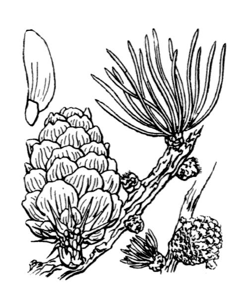Larix decidua Mill. subsp. decidua - illustration de coste