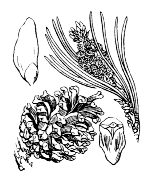 Pinus mugo subsp. uncinata (Ramond ex DC.) Domin - illustration de coste