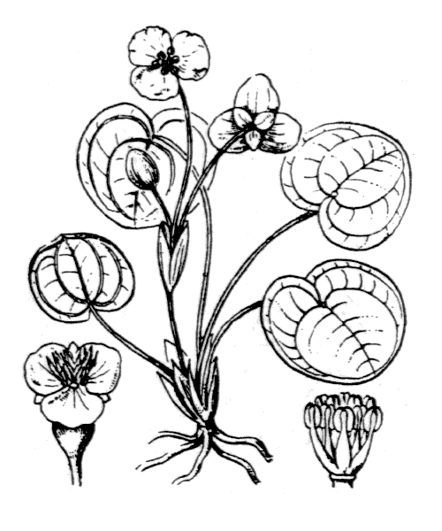 Hydrocharis morsus-ranae L. - illustration de coste