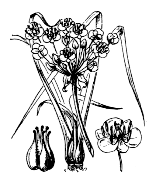 Butomus umbellatus L. - illustration de coste