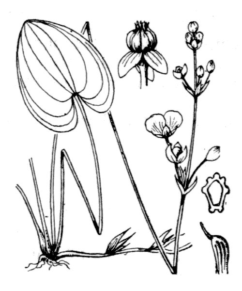 Caldesia parnassifolia (L.) Parl. [1860] - illustration de coste