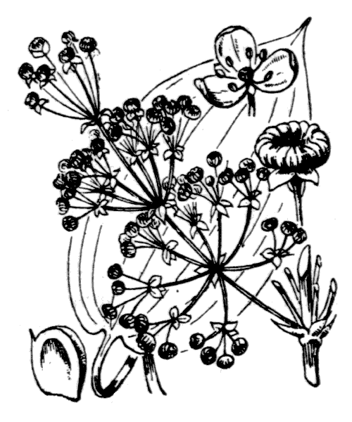 Alisma plantago-aquatica L. - illustration de coste