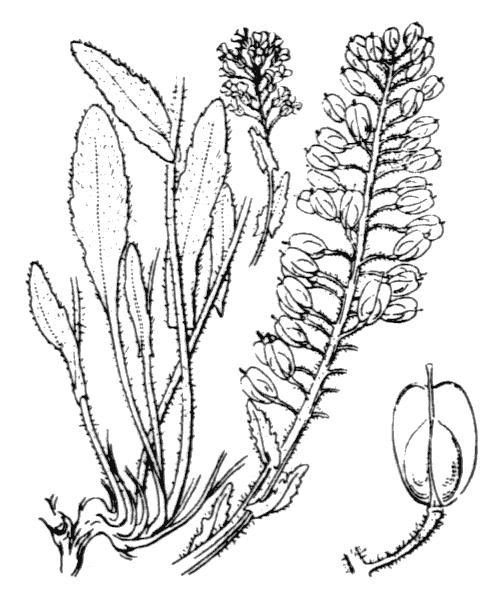 Lepidium heterophyllum Benth. - illustration de coste