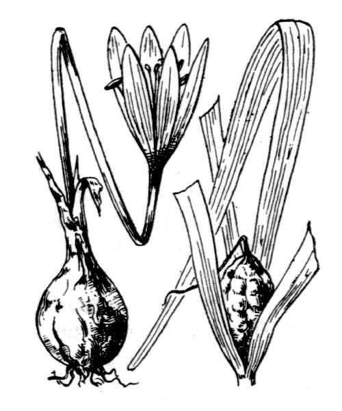 Colchicum corsicum Baker - illustration de coste