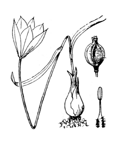 Tulipa sylvestris subsp. australis (Link) Pamp. - illustration de coste