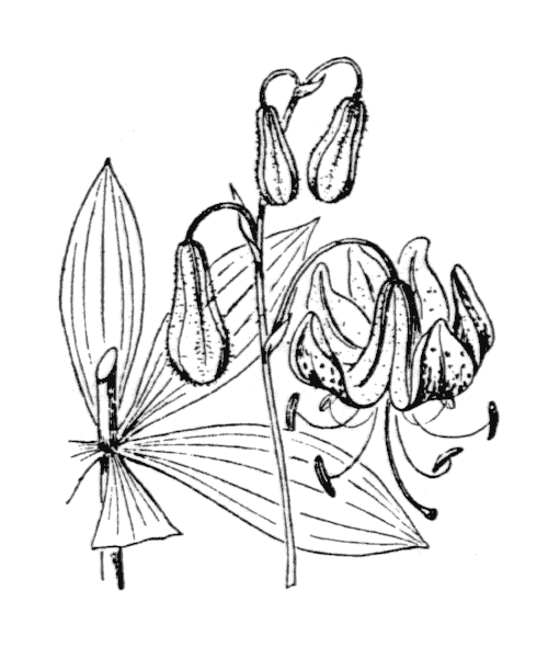 Lilium martagon L. - illustration de coste