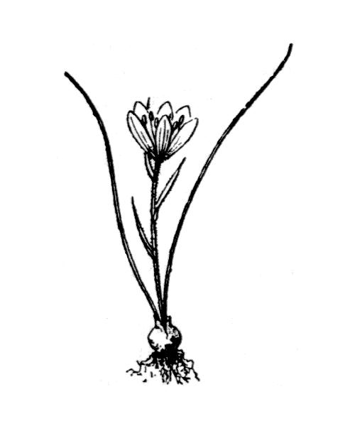 Gagea bohemica (Zauschn.) Schult. & Schult.f. - illustration de coste