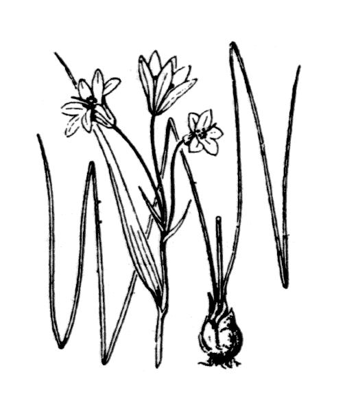 Gagea spathacea (Hayne) Salisb. [1806] - illustration de coste