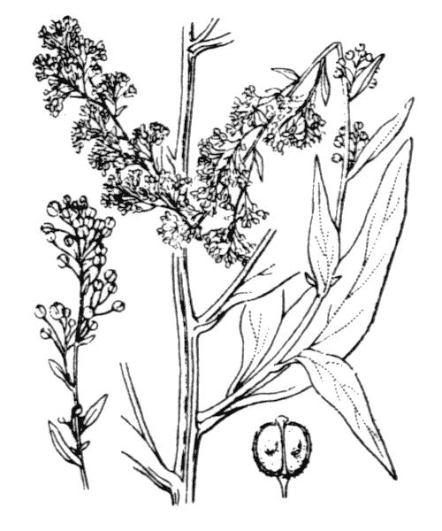 Lepidium latifolium L. - illustration de coste