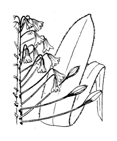 Bellevalia ciliata (Cirillo) Nees - illustration de coste
