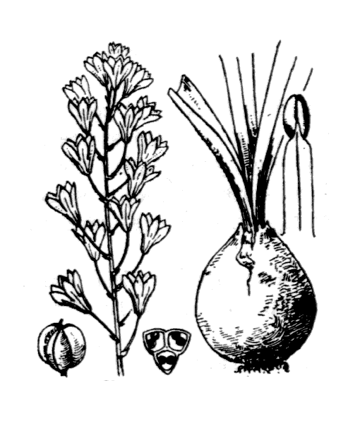 Bellevalia romana (L.) Rchb. - illustration de coste