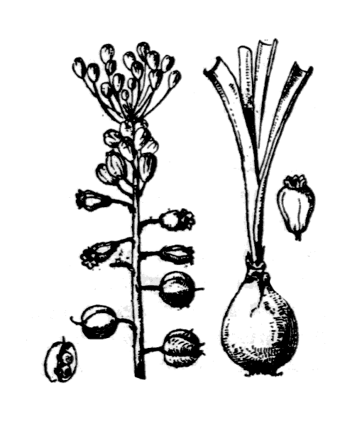 Muscari comosum (L.) Mill. - illustration de coste