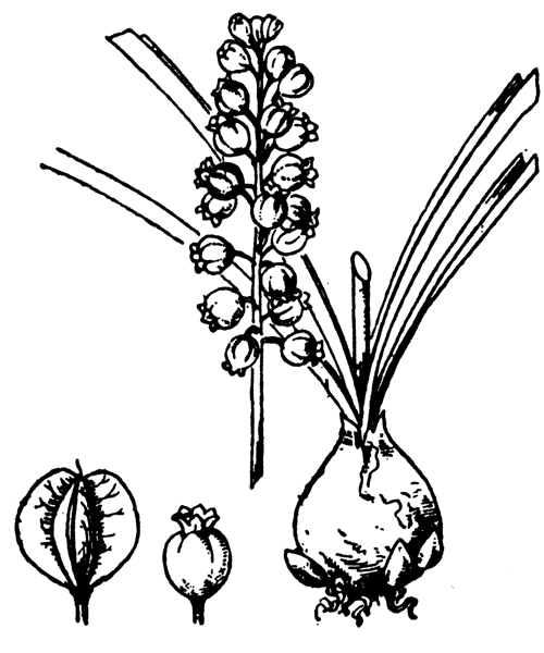 Muscari motelayi Foucaud - illustration de coste