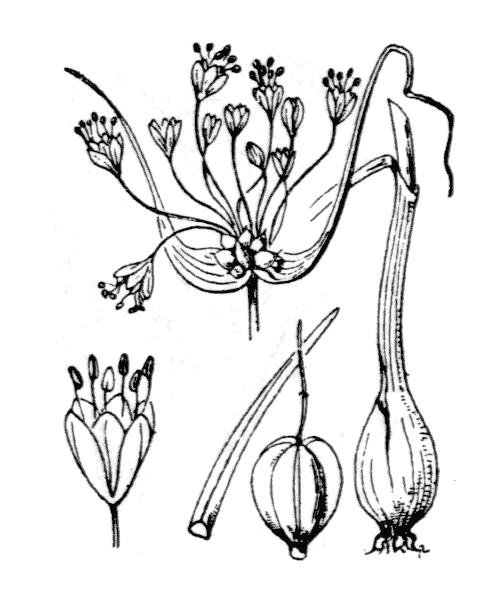 Allium carinatum L. - illustration de coste