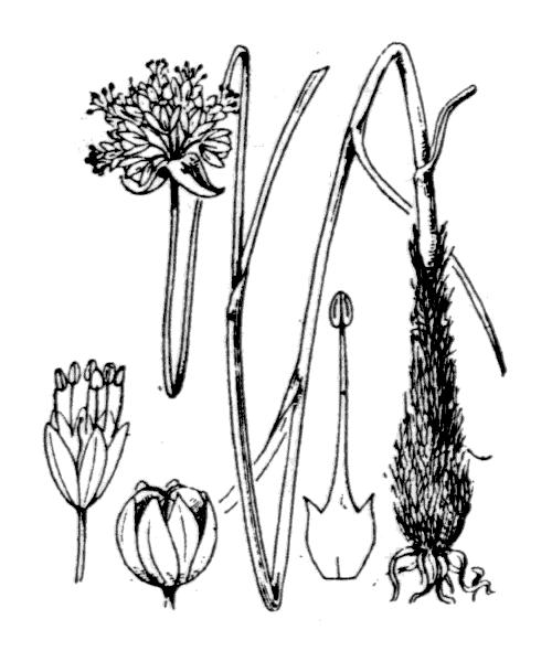 Allium strictum Schrad. - illustration de coste