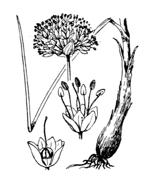 Allium ericetorum Thore - illustration de coste